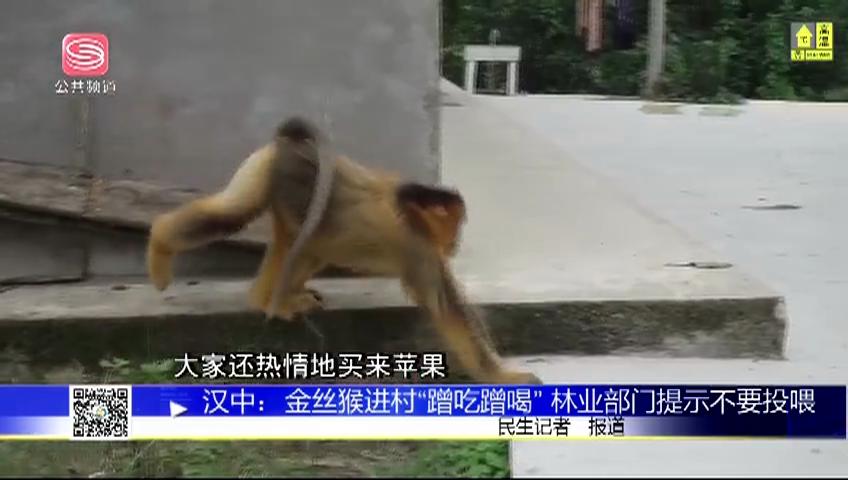 """汉中:金丝猴进村""""蹭吃蹭喝"""" 林业部门提示不要投喂"""