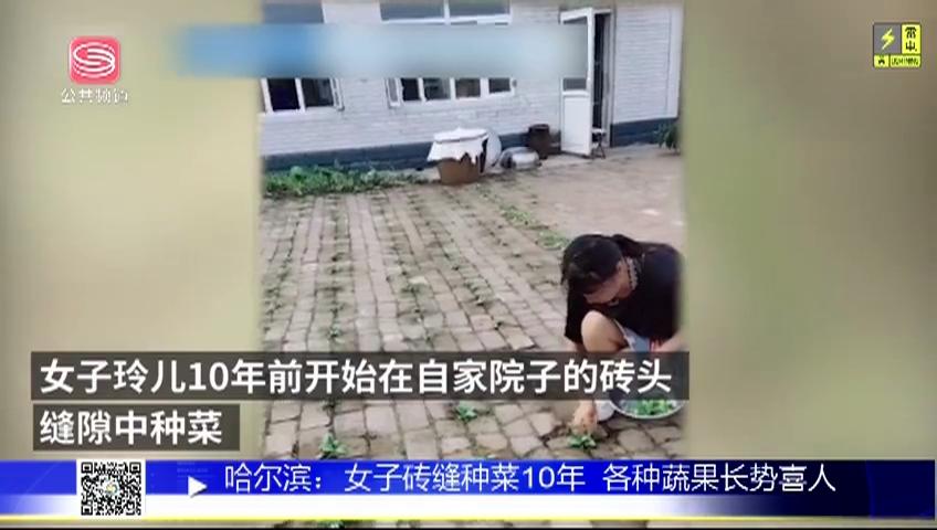 哈尔滨:女子砖缝种菜10年 各种蔬果长势喜人