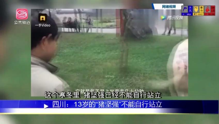 """四川:13歲的""""豬堅強""""不能自行站立"""