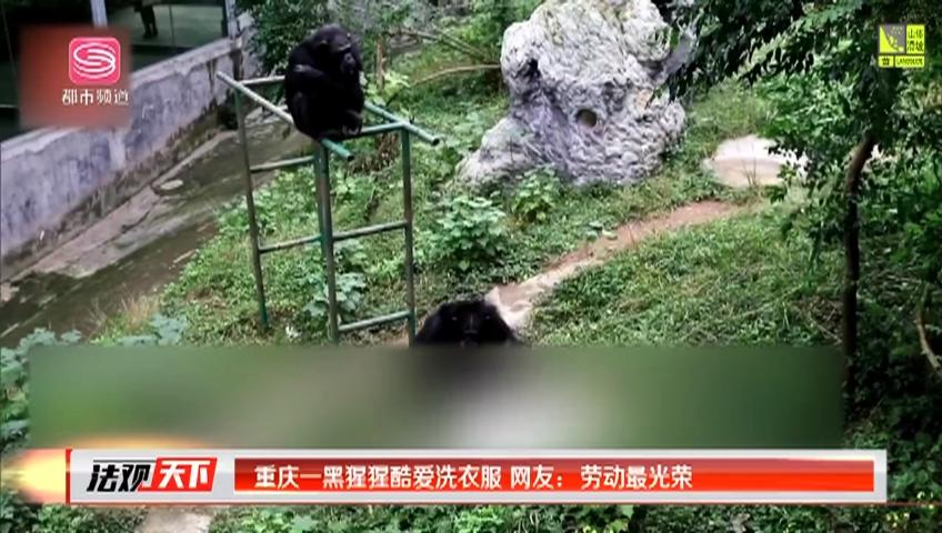 重庆一黑猩猩酷爱洗衣服 网友:劳动最光荣